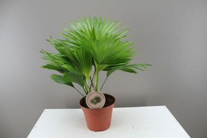 Small rounded leaf fan palm.
