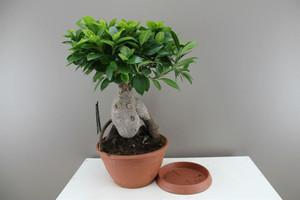 Large Ficus Bonsai