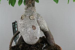 Ficus Bonsai Roots