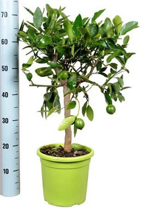 Citrus Lime Tree