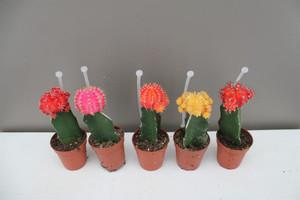 Chin Cactus Coloured
