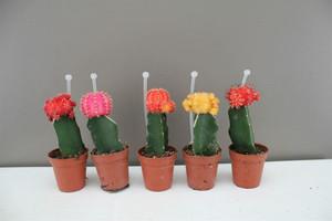 Rainbow Chin Cactus