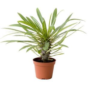 Madagascar Palm-Pachypodium Lamerei- Stem-succulent plant
