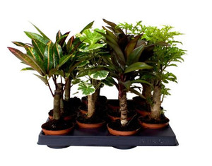 Stem mix- Great mix of long-stemmed indoor plants for your home or office- Add a touch of the outdoors to your home- Easy to care for indoor plants- 4 plants
