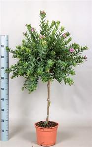 Large polygala sweet pea tree