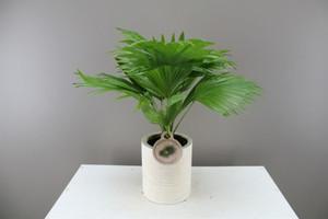 Footstool palm