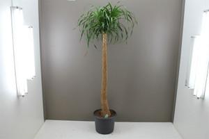 Ponytail Palm Tree