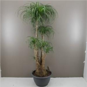 160cm nolina palm