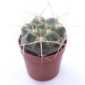 Spider Cactus