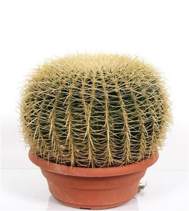 Echinacactus Grusonii Golden Barrel Cactus – Mother in Law's Cushion, Dramatic and Exotic Easy to Care for Mexican Cactus