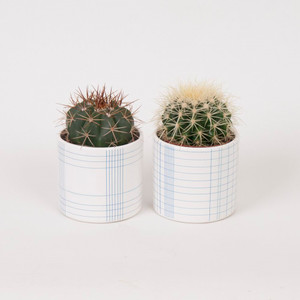 Sophisticated and Sleek Cactus Gift set Comes Potted in White Ceramic Planter with Detailed Blue Lines Design