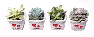 "Special Succulents in White Ceramic ""I Love You"" Detailed Pot Ideal Gift for any Loved One- set of 4"
