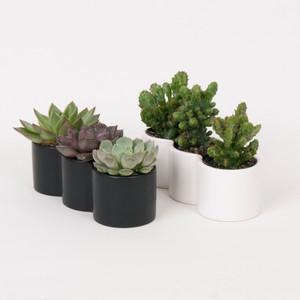 sucullant trio white and Black