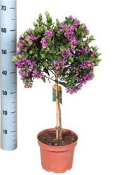 Beautiful gift present for all plant lovers - 'Sweet Pea' Shrub - Fragrant purple pink flowers - Polygala - Flowers all year round - Comes in full bloom.
