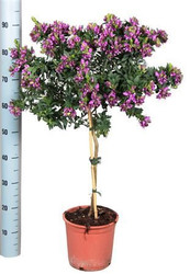 Beautiful gift present for all plant lovers - 'Sweet Pea' Stem - Fragrant purple pink flowers - Polygala - Flowers all year round - Comes in full bloom.