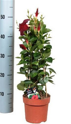 Tropical Houseplant - Evergreen Mandevilla - Striking large red flowers - Makes a lovely present for birthdays and new homes - Climbing plant with long flowering period - Dipladenia.