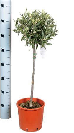Olive thick stem gift