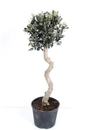 Olive spiral stem