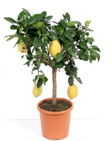 Large Lemon Tree with Fruits