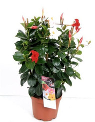 Mandevilla two colour