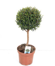 Myrtus stem plant- small tree-like evergreen shrub