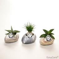 Small Stone Succulent