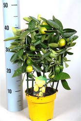 Luscious Small Limonella trellis  - Lemon tree.