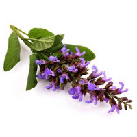 Clary Sage (Salvia sclarea) - Balancing Effect on Hormonal System ~ Dream Work