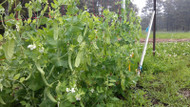 SNOW PEA (Pisello dolce) Oregon giant