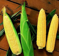 SWEET CORN (Mais) Max