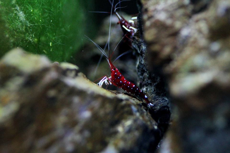 Setting Up A Cardinal Sulawesi Shrimps Tank Step By Step