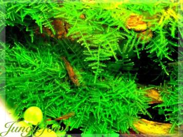 Peacock Moss Live Aquatic Freshwater Aquarium Plant Moss
