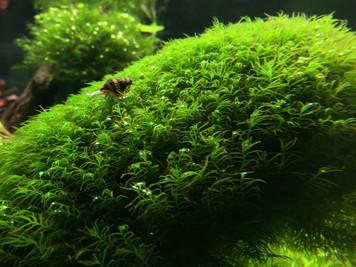 Fissidens Fontanus Live Aquatic Plant Moss