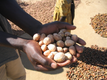 Shea nuts graded and sorted by hand in the field