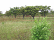 Shea trees growing in the savannah grassland of northern Uganda.