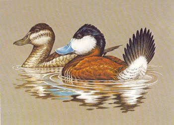 US Federal Duck Stamp Print RW48 (1981-1982)