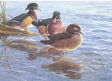 National Fish and Wildlife Stamp Print 1989 Wood Ducks by John Serry-Lester Medallion Edition