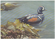 Washington Duck Stamp Print 1988 Harlequin Ducks by Robert Bateman Medallion Edition