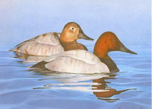 New Jersey Duck Stamp Print 1984 Canvasbacks by Tom Hirata