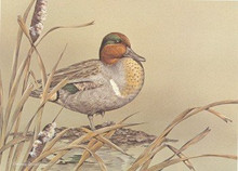 Arizona Duck Stamp Print 1988 Green - Winged Teal by Sherrie Russell