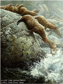 The Plunge - Northern Sea Lions by John Seerey-Lester
