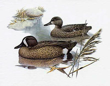 Blue Winged Teal - Artist Proof by Larry Hayden