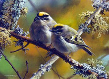 Crowning Glory-Golden Crowned Kinglets by Carl Brenders