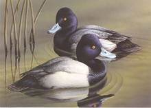 Oklahoma Duck Stamp Print 1992 Lesser Scaup by Jeffrey Mobley