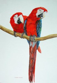 Scarlet Macaws Original Water Color By Sally Porter