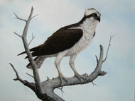 Original Pastel Drawing Osprey