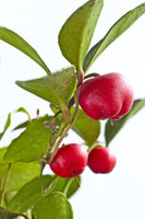 Wintergreen Essential Oil - 100% Pure and Natural