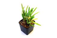 Diodonopsis pygmaea