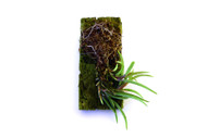 Maxillaria uncata