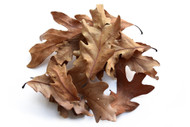 Oak Leaf Litter